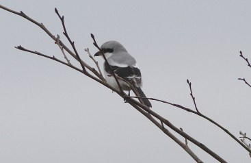 Great Grey Shrike, Cockley Cley 19th February