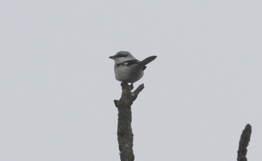 Great Grey Shrike, Cockley Cley 11th February
