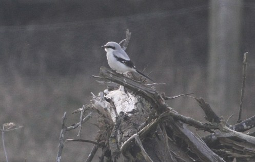 Great Grey Shrike, Nar Valley Fisheries 18th February
