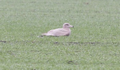 Glaucous Gull. Wissington, 7th January