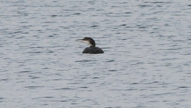 Great Northern Diver Nar Valley Fisheries 18th February