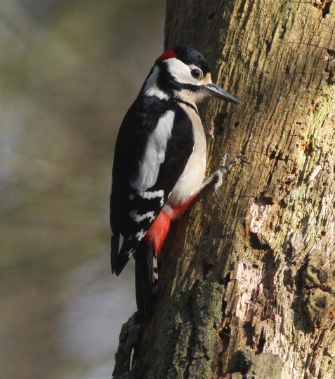 Great-spotted Woodpecker, Cockley Cley 12th March
