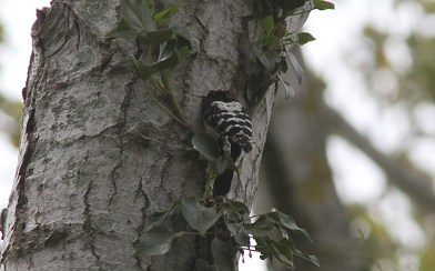 Lesser-spotted Woodpecker, male 13th May