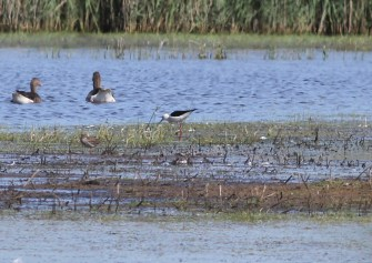 Black-winged Stilt, 2nd male , Potter Heigham 28th May