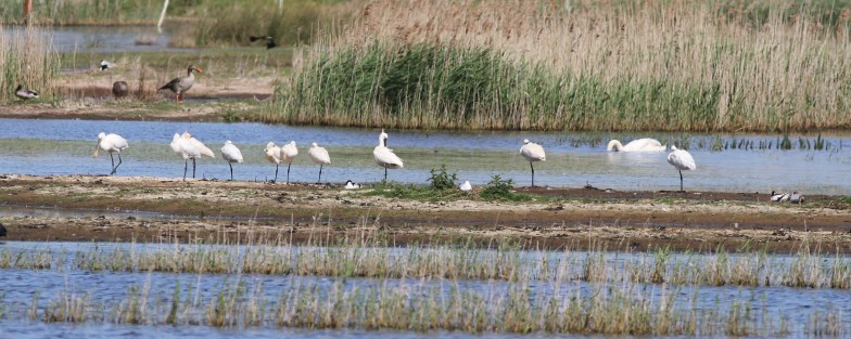 Spoonbills, Potter Heigham, 28th May