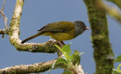 Grey-hooded Bush Tanager