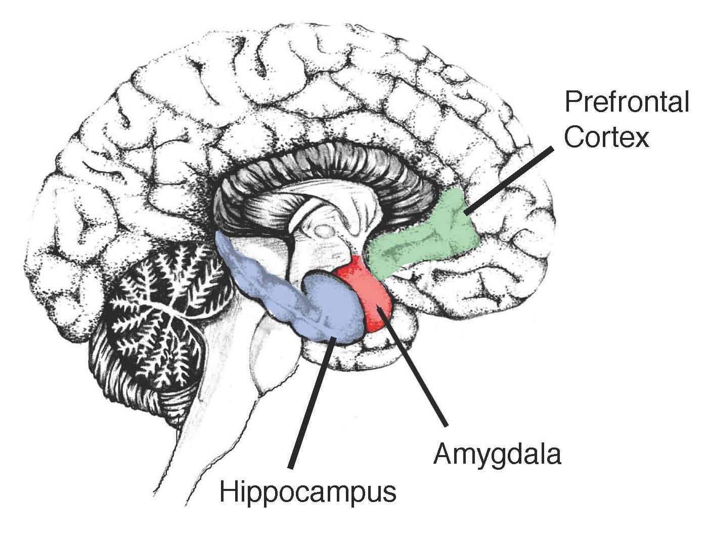 Trauma Re Wires Your Brain Part 3 Neocortex