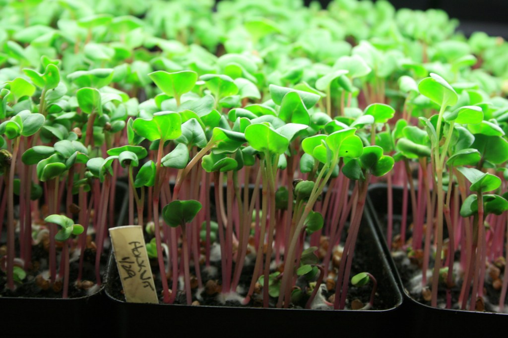 Microgreens, like these 'Hong Vit' radishes, are colorful, flavorful, nutritious and can be grown indoors year-round (photo by MSU Extension Service/Gary Bachman