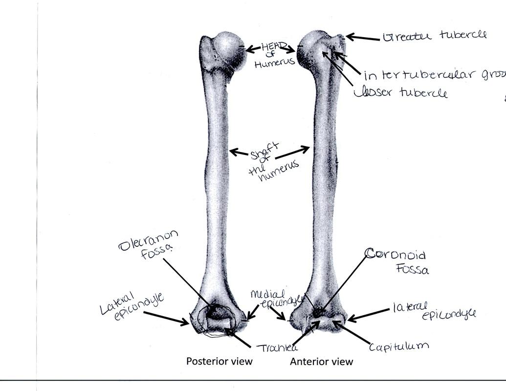 Arm Amp Forearm