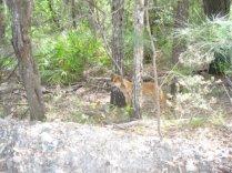 A Dingo on Fraser Island