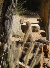 Meerkat just chilln. I like how they sit on their bums