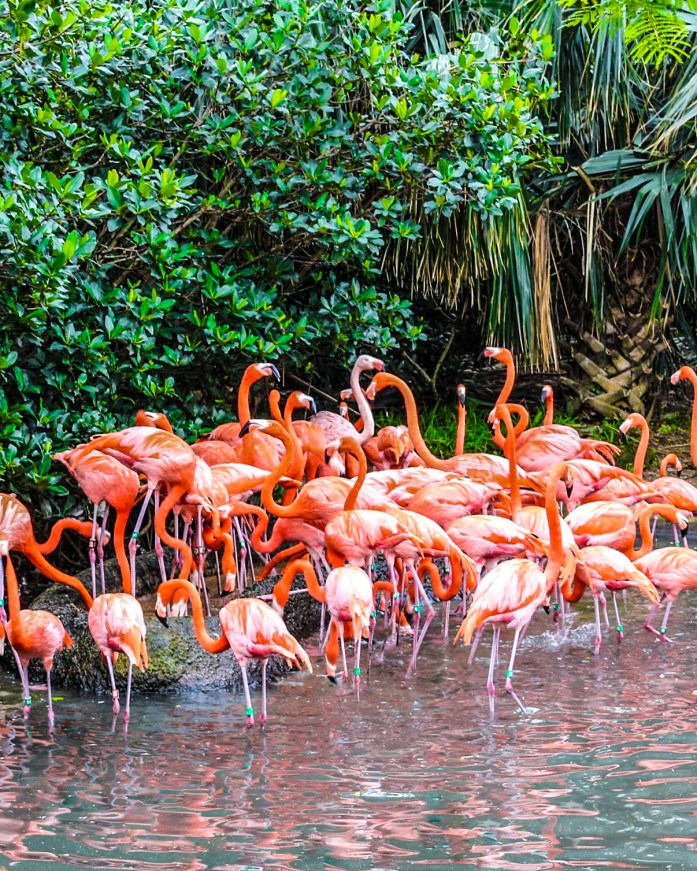 photo of a bunch of flamigos from the Bermuda aquarium and zoo.