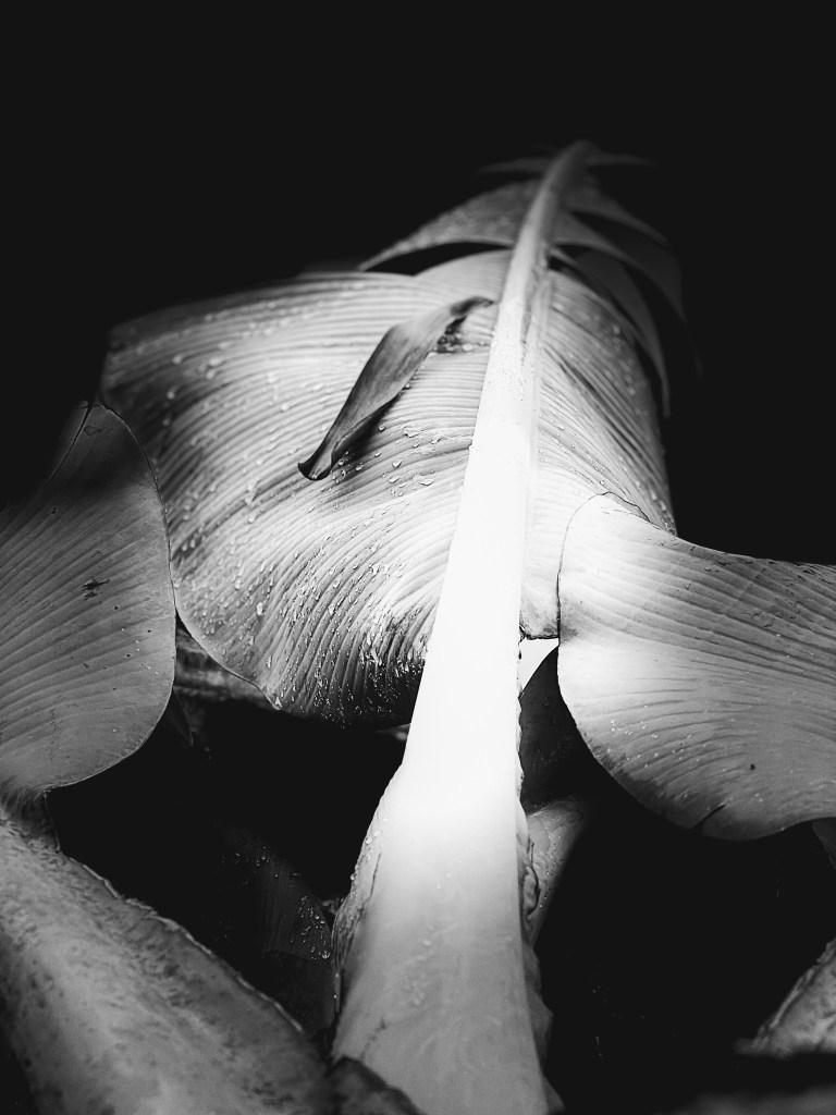 Black and white photo of a banana leaf