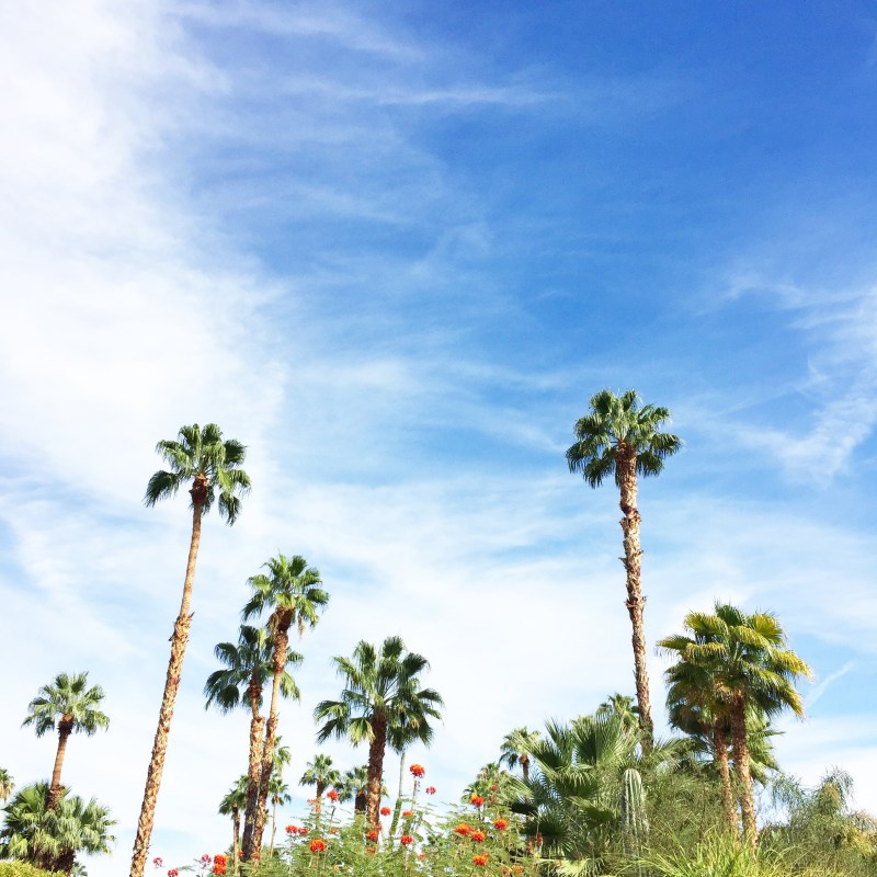 palm springs palm trees