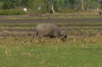 Real buffalo, taking it easy.