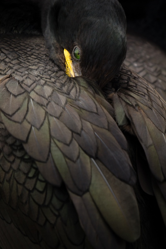 Animal Portraits Winner: Shag Resting, Farne Islands, Northumberland, by Steven Fairbrother