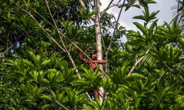 A Waiapi boy climbs up a Geninapo tree to pick fruits to make body paint at the Waiapi indigenous reserve in Amapa state, Brazil. Photograph: AFP Contributor/AFP/Getty Images