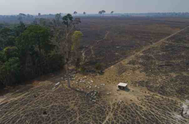Cattle graze on land recently burned and deforested by farmers near Novo Progresso, Pará state, Brazil. Photograph: André Penner/AP