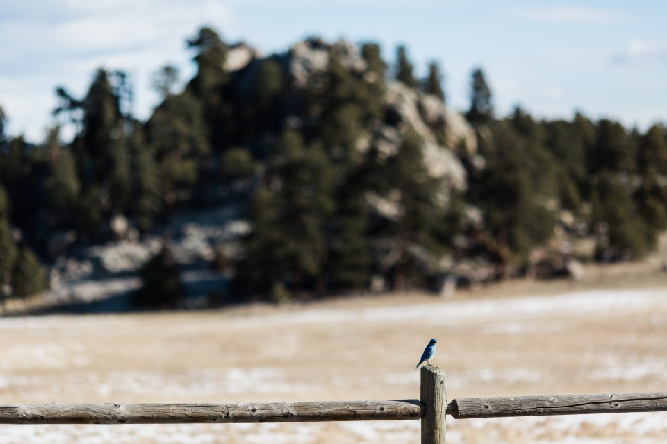 A bluebird sings its morning anthem perched on a fence post at Three Sisters in Evergreen, Colorado, on the morning of an adventure elopement.