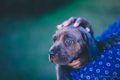 Cane Corso Puppies - Mauritius