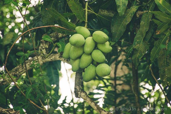 MTB Mauritius Bassin Estate Loaded Mangoes