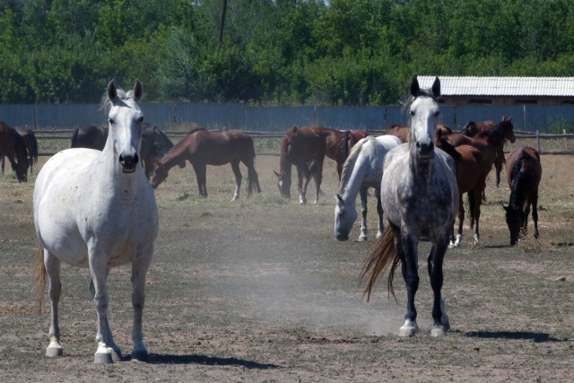 Two white horses in motion, staring at camera, brown horses behind, milling about.