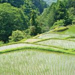 Rice terraces in central Izu with family grave in background
