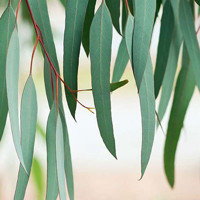 Eucalyptus Oil ingredient asian balm medical natural remedy