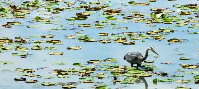 匹特湖賞鳥 Pitt Meadows