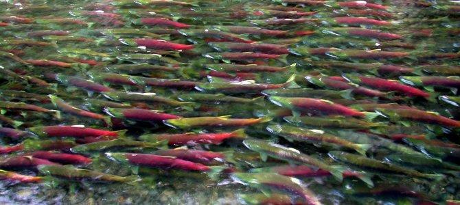 威化溪鮭魚洄游 Salmon Run Weaver Creek