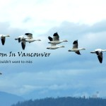 flying snow geese-2