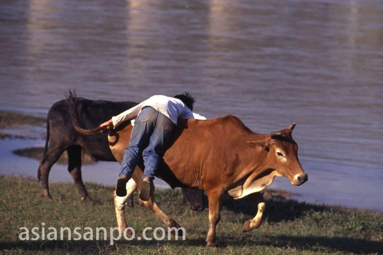 中国 景洪のメコン川の牛