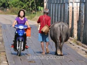 ミャンマー ダウェイーベイ 水牛