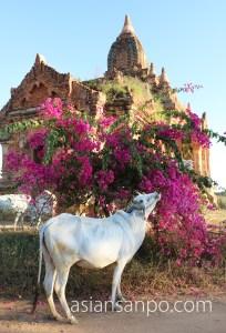 ミャンマー バガン 牛