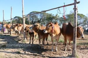 ミャンマー ピィー牛市場