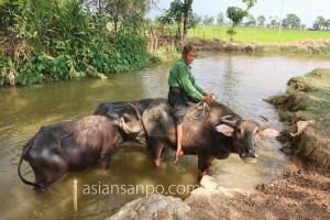 ミャンマー ヤンゴンーネピドー 水牛