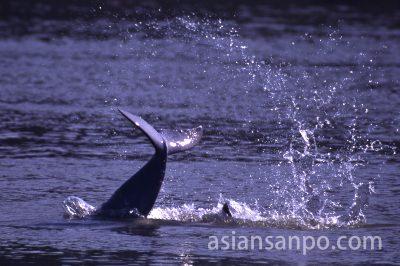カンボジア クラチエの川イルカ