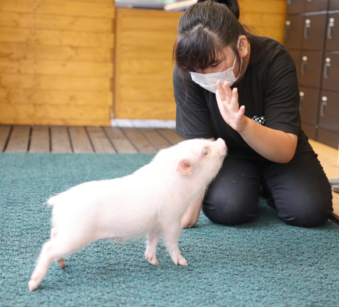 Read more about the article Conheça o Pignic Farm & Cafe, o café de porcos do Japão