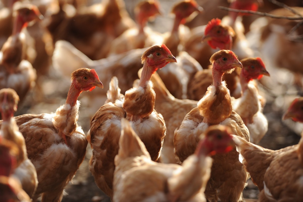 Some 320,000 chickens are to be culled.  Photo: IROZ GAIZKA / AFP