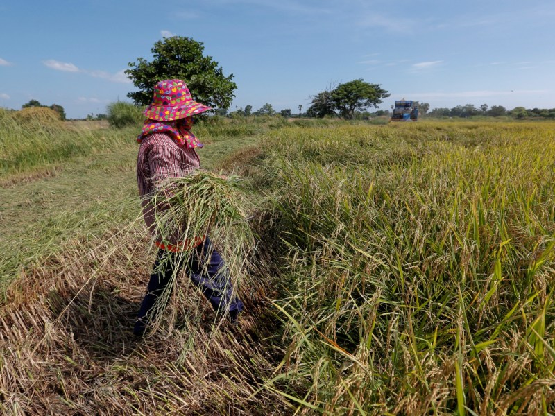 A farmer works in her rice field in Suphan Buri province, north of Bangkok, Thailand November 2, 2016. Photo: Reuters/Chaiwat Subprasom