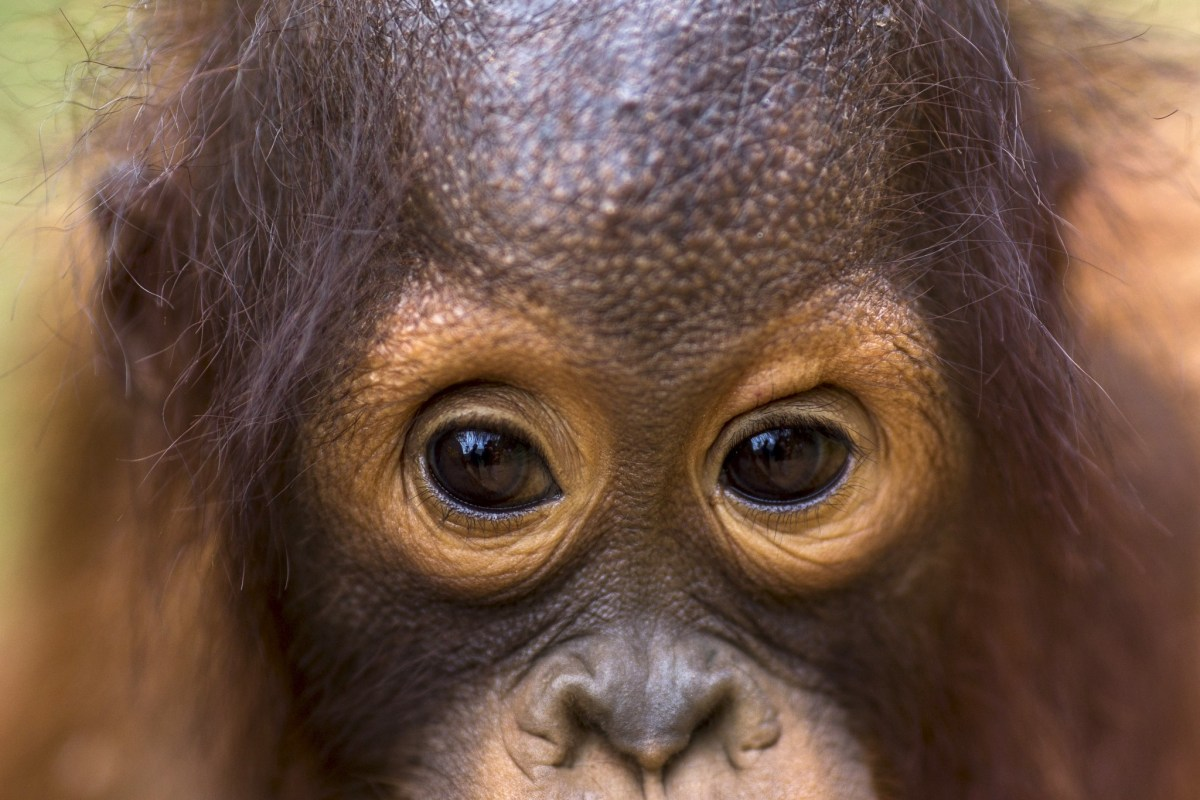 A two-year-old orangutan looks on as vets draw blood samples from him at Kao Pratubchang Conservation Centre in Ratchaburi, Thailand. Photo: REUTERS/Athit Perawongmetha