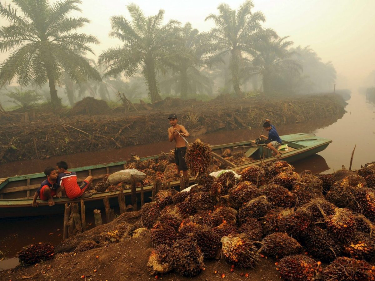 A worker unloads palm fruit at a plantation in Peat Jaya in Jambi province on the Indonesian island of Sumatra. Photo: Reuters/ Wahyu Putro