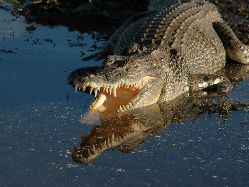 A crocodile in northern Australia smiles for the camera. Photo: iStock / Getty