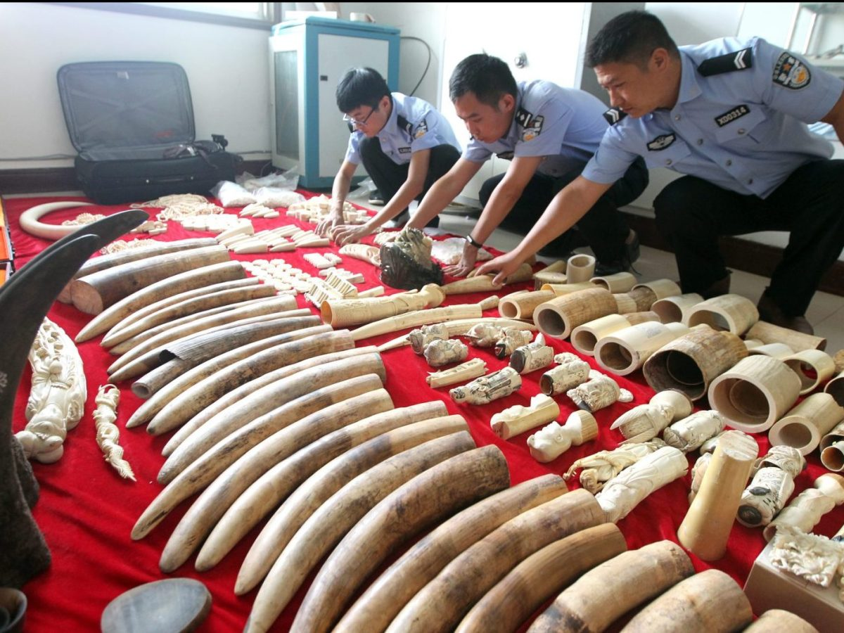 Chinese police officers examine ivory and rhino horn products seized after breaking up a criminal ring in Xuchang city, central China's Henan province,  September 12, 2016. Photo: AFP