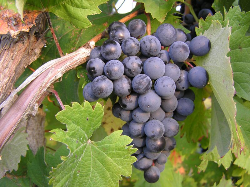 The wine industry in China is not ripe yet. Photo: Wikimedia Commons