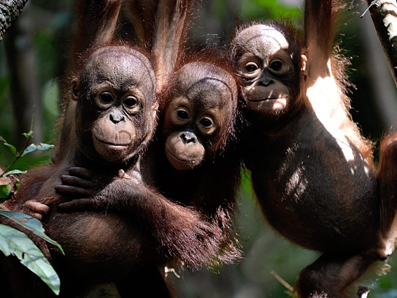 "Three orphaned orangutan babies hanging in a tree whilst attending ""jungle school"" at the International Animal Rescue centre outside the city of Ketapang in West Kalimantan. Photo: Bay Ismoyo/AFP"
