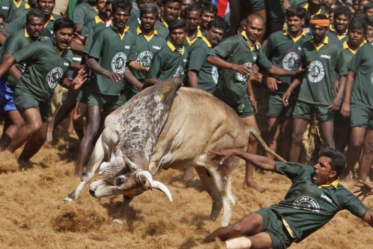 Villagers participating in a bull-taming festival on the outskirts of Madurai town. Photo: Reuters