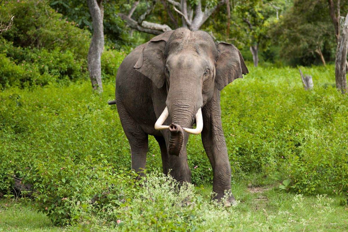 """Asian elephants have declined by 50% over the last three generations and are listed as """"endangered."""" Photo: Wikimedia Commons"""