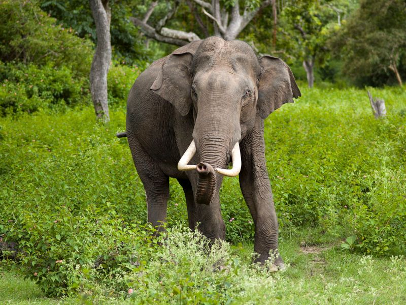 "Asian elephants have declined by 50% over the last three generations and are listed as ""endangered."" Photo: Wikimedia Commons"