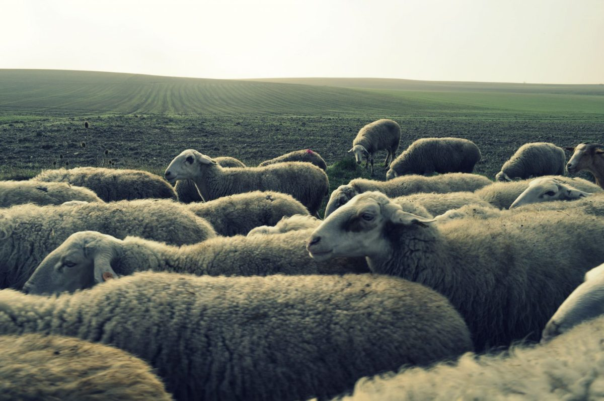 A shepherd and most of his 60 sheep were fatally struck by a van in Tamil Nadu early on Tuesday. Photo: Flickr